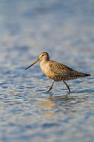 Hudsonian godwit wades in the nearshore waters along Hartney bay during the spring migration. Orca Inlet, Prince William Sound, southcentral, Alaska.