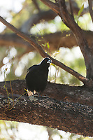 An Australian Magpie looks curiously at the photographer from its perch in a gum tree, near Adelaide, South Australia.