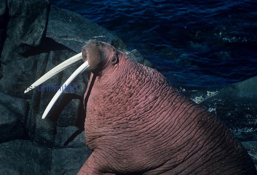 Walrus bull resting on shore ,Odobenus rosmarus,. Arctic North America.
