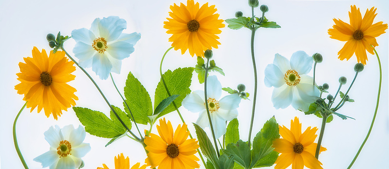 Flower arrangment. Yellow daisies and blue anemone.