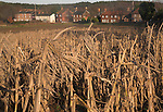 Ground cover of crops left in field for game birds, Butley village, Suffolk farming landscape scenery, East Anglia, England