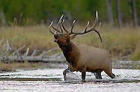 Elk, Wapiti, Cervus elaphus, bull calling, bugling while crossing river,  Yellowstone NP,Wyoming, September 2005