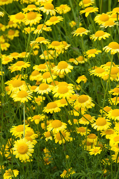 Anthemis sancti-johannis, mid July. Also known as St. John's chamomile or Orange marguerite.