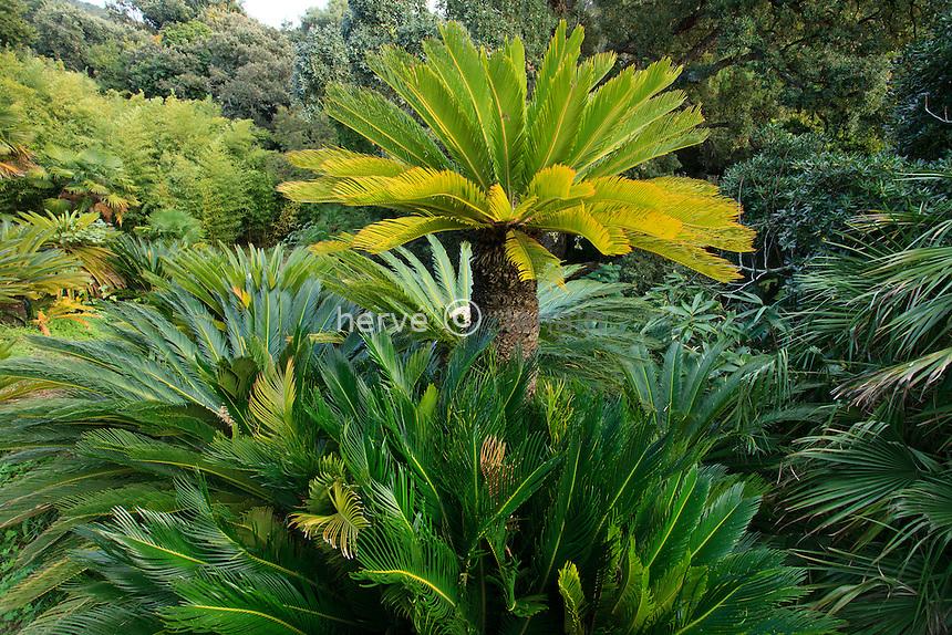 Domaine du Rayol en novembre : Cycas revoluta dans le jardin d'Asie subtropicale.