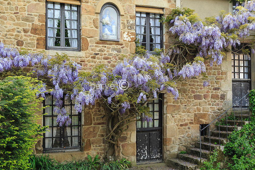 France, Orne (61), Parc Naturel R&eacute;gional Normandie Maine, Saint-C&eacute;neri-le-G&eacute;rei, class&eacute; Les Plus Beaux Villages de France, glycine (Wisteria) sur une maison // France, Orne, Normandie-Maine Regional Natural Park, Saint-Ceneri-le-Gerei, labelled Les Plus Beaux Villages de France (The Most beautiful<br /> Villages of France), wisteria on a house