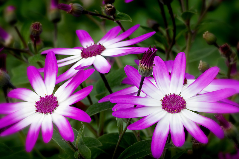 Cineraria Senetti blossoms. Oregon