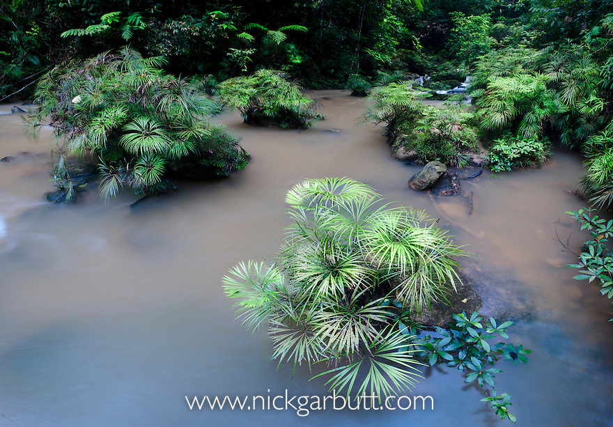 Clumps of a riverine fern (Dipteris lobbiana) growing in and along a tributary of the Maliau River, in the heart of Maliau Basin - Sabah's 'Lost World'. Near Ginseng Camp, Maliau Basin, Borneo.