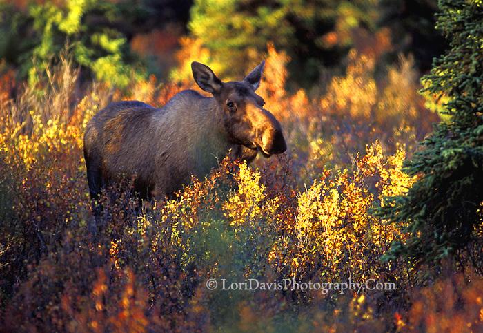 #M14 Cow Moose Amongst Autumn Foliage