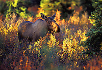 #M14 Cow Moose Amongst Autumn Foliage