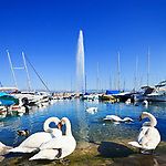 Switzerland, Genève, Lake Geneva, Genève, Swans and Jet d'Eau fountain in the background