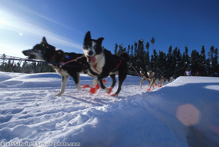 Musher John  Gourley dogs on Anchorage sled dog trail  Iditarod Sled Dog Race 1995