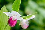 Showy Lady's Slippers (Cypripedium reginae) at Sieur de Monts in Acadia National Park, Maine, USA