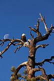 USA, Utah, bald eagle in an old tree with the moon, Rte 9, the Zion-Mount Carmel Highway