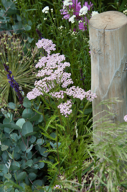"Achillea millefolium 'Lilac Beauty' and Eucalyptus gunnii. ""Coastal Drift"" show garden, designed by Susan Willmott and Adele Ford, Hampton Court Flower Show 2012."