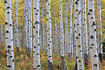 Autumn aspen forest in Maroon Bells Valley, Elk Mountains, near Aspen, Colorado. John offers fall foliage photo tours throughout Colorado. .  John offers private photo tours and workshops throughout Colorado. Year-round.