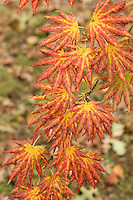 maple, tree, autumn color at Arnold Arboretum, Boston, MA
