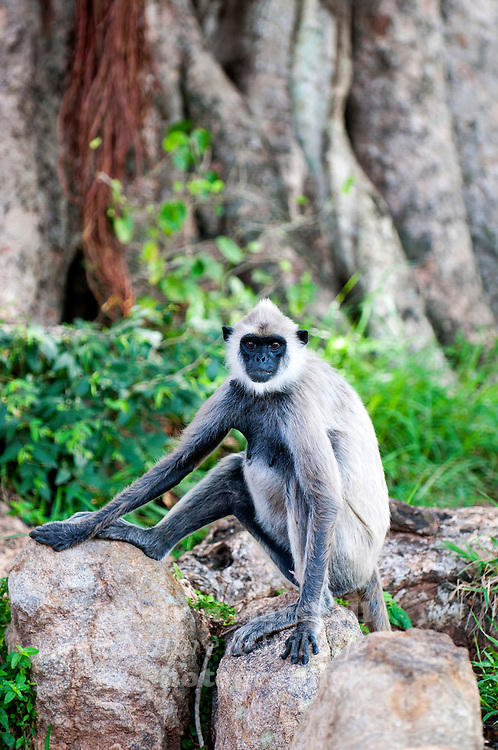 Gray langur (Semnopithecus priam) - or Hanuman langurs, the most widespread langurs of South Asia, are a group of Old World monkeys constituting the entirety of the genus Semnopithecus. Bundala National Park - Sri Lanka.