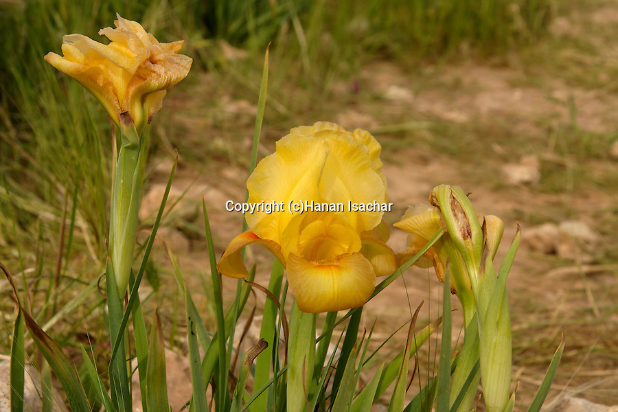 Israel, Iris Atrofusca in the Negev