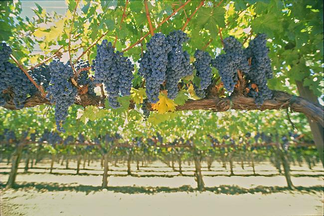 Cabernet vineyard near Rutherford, California