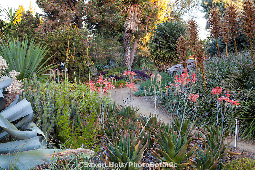 Drought tolerant Ruth Bancroft Garden, Walnut Creek, California with palms and succulents