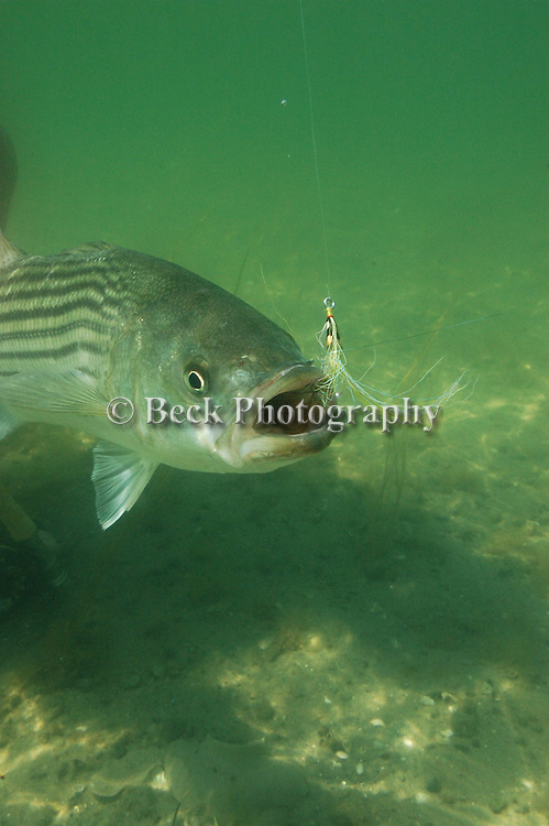 UNDERWATER STRIPER IN CAPE COD
