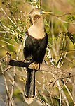 Anhinga perched in tree