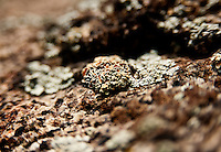 Lichen grows on a rock near Bear Peak in Boulder, Colorado, Saturday, June 4, 2011. Elevation is 8,416 feet. ..Photo by Matt Nager