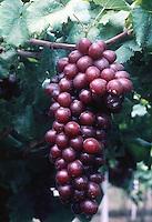 LA UNION- COLOMBIA-21-06-2001-Racimo de uvas.Bunch of Grapes (Photo::Luis Ramirez).