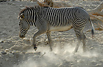 Grevy's zebra at the Living Desert