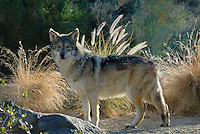 Mexican Wolf (Canis lupus baileyi). The Living Desert Zoo & Gardens, Palm Springs, CA)