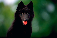 Portrait of a panting, black Belgian sheepdog puppy.