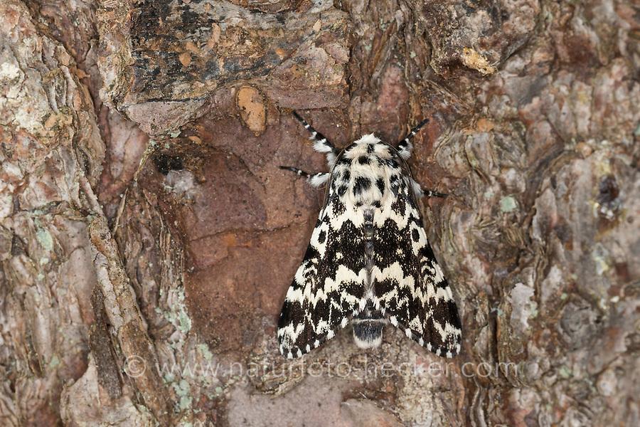 Klosterfrau, Hochwald-Fichteneule, Mönch, Panthea coenobita, Pine Arches, La Cénobite. Eulenfalter, Noctuidae, noctuid moths, noctuid moth