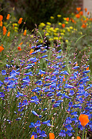 Blue flowering perennial Penstemon heterophyllus (Blue Bedder) with orange poppies in Kyte California native plant garden