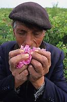 BULGARIA Kazanlak, man harvest in the morning damascena rose blossom in the rose valley , the rose blossom are distilled for essential oil and rose water which is used for cosmetics and perfume / BULGARIEN Kazanlak, Landarbeiter ernten Blueten der Damscena Rose , aus den Rosenblaettern wird Rosenwasser und Rosenoel destilliert, der als Grundstoff fuer Kosmetika und Parfuem verwendet wird - <br /> MORE PICTURES AVAILABLE!