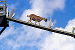 Goat being trained to get food by walking up a plank high off the ground Snohomish County Washington State USA.