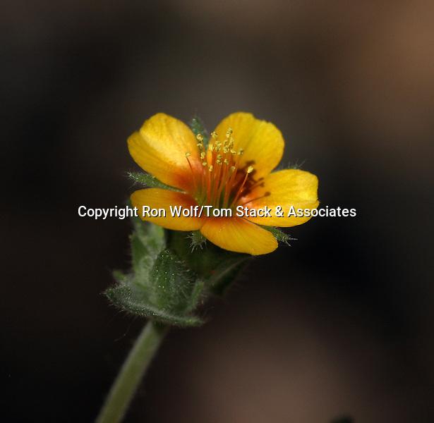 White-stemmed Stick-leaf (Mentzelia albicaulis) a/k/a White-stem Blazing Star, White Blazing Star. Butterbredt Spring. Kern Co., Calif.