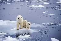 polar bears, Ursus maritimus, mother with two first year cubs on pack ice, Spitsbergen, polar high Arctic, Atlantic, polar bear, Ursus maritimus