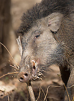 An Indian boar scratches itself on a stick.