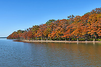 Colorful Cypress in Fall - Colorful fall cypress trees growing along banks of lake Nimrod in Arkansas in the National forest. This wilderness is full of tall pines, cypress, along with many colorful trees in autumn time. The cypress trees along the lake had that wonderful fall color of rusty reds and oranges as they line up along the banks of the lake. It was a wonderful fall scene with lot of color against a backdrop of blue sky. You can see the cypress stumps along the waters edge.