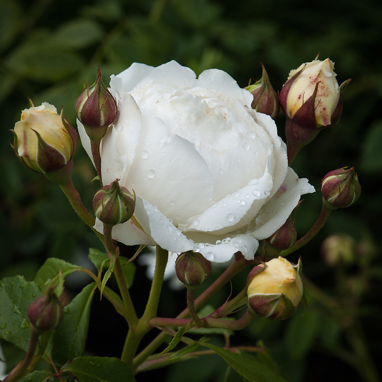 Rosa Claire Austin ('Ausprior'), early June. A modern shrub rose with cupped buds of a pale lemon shade which gradually open to form large, creamy-white flowers of typical English Musk delicacy. Petals are arranged in concentric circles, with a few more loosely arranged in the centre. Named after David Austin's daughter and introduced in 2007.