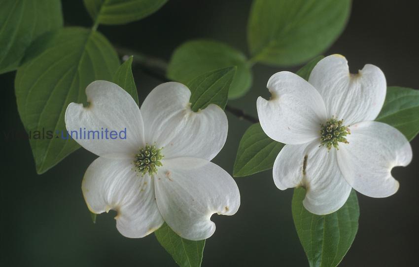 Dogwood flowers (Cornus florida), North America.