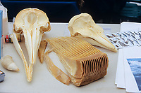 Pacific white sided dolphin, Lagenorhynchus obliquidens, harbour porpoise, Phocoena phocoena, Gray whale, Eschrichtius robustus, sperm whale, Physeter macrocephalus,comparison of tooth and baleen and difference in dolphin and porpoise skulls, Monterey bay, California, USA, Pacific Ocean
