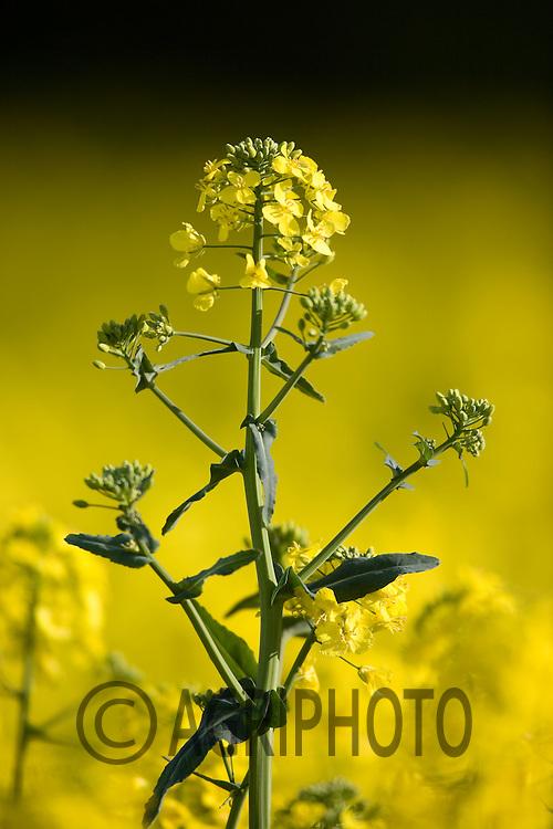 Oil seed rape in flower
