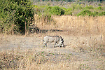 Warthog Browsing on Grasses in Chobe National Park in Botswana in Africa