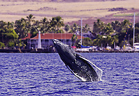 A young humpback calf breaches offshore of Lahaina, with the Pioneer Inn in the background.