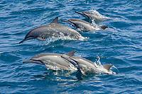 spinner dolphin, Stenella longirostris, pod, porpoising, jumping, Maldives, Indian Ocean