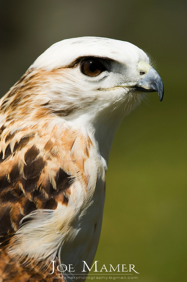 """Krider's red-tailed hawk (Buteo jamaicensis """"kriderii"""") portrait. The Krider's red-tailed hawk is paler than other Red-tails, especially on the head. Captive bird from the Minnesota Raptor Center"""