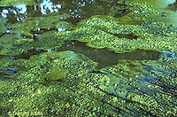 PO05-026b  Pond  Algae - pond scum growing at surface of small pond