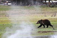 Grizzly Bear, Hot springs, Yellowstone National Park