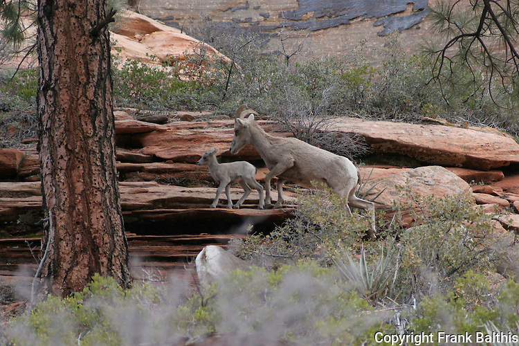 bighorn sheep ewe & lamb, Zion NP